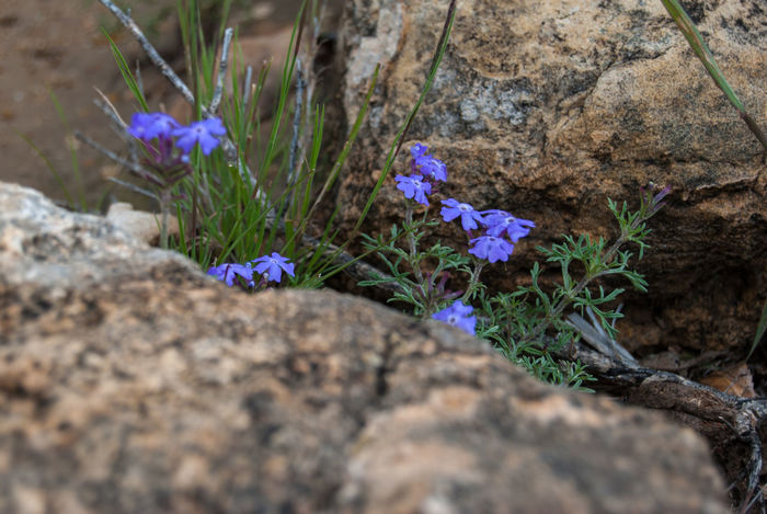 Flower between rocks Bolivia Beauty In Nature Close-up Crocus Day Flower Flower Head Fragility Freshness Growth Nature No People Outdoors Plant Rock - Object Torotoro