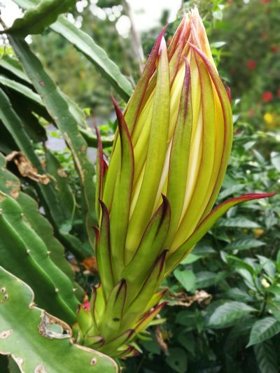 Dragon fruit flower Growth Green Color Plant Nature No People Outdoors Leaf Close-up Flower Beauty In Nature Day Freshness Tree