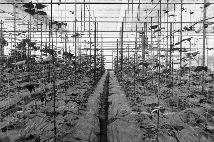 No People Nature Greenhouse Analog Film Photography Analogue Photography Plants Plant Leaves Leaf Perspective Vanishing Point Lines Built Structure Blackandwhite Black And White Photography Buyfilmnotmegapixels Monocrome Monochrome Photography Ilford Ilford Delta 400 Nature Fresh Vegetable Garden Geometry