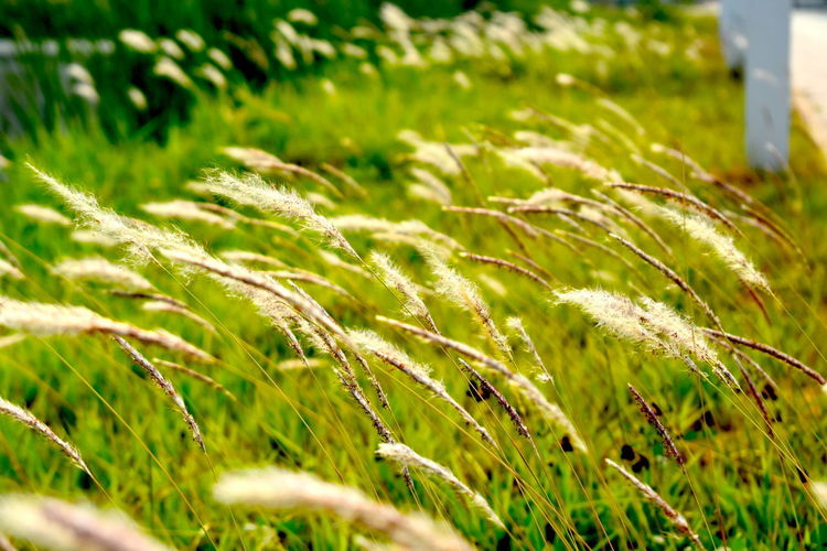 Grass Backgrounds Flowers Natural Photo Natural Photography Tropical Climate Tropical White Grass Flowers Blowing In The Wind White Background White Flowers White Wild Flowers Wild Flowers