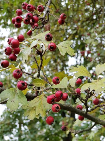 autumn Nature Leaves Autumn No People Walking Around Park Forest Details Of Nature Lookingup Happiness Beautiful Place Lovely View EyeEm Best Shots Good Morning Sky Wood Peaceful Berries Red Tree Fruit Branch Red Close-up Green Color Plant Rowanberry Rose Hip Growing Autumn Collection