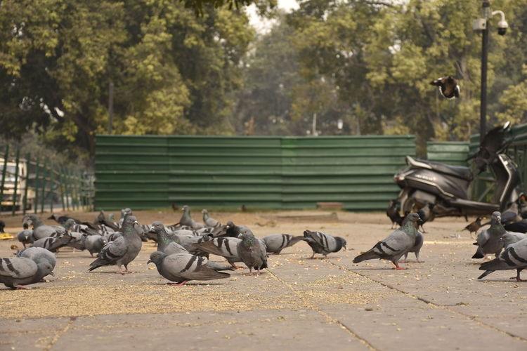 Flock of pigeons on the street