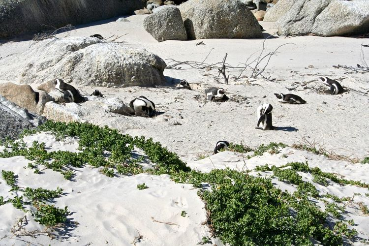 African Penguin African Pinguin Beauty In Nature Day Field Grass Growth High Angle View Landscape Nature Non-urban Scene Outdoors Plant Rock Rock - Object Rock Formation Sand Scenics Stone - Object Sunlight Tranquil Scene Tranquility