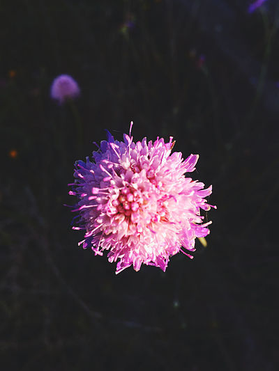 Close-up of pink flower against blurred background