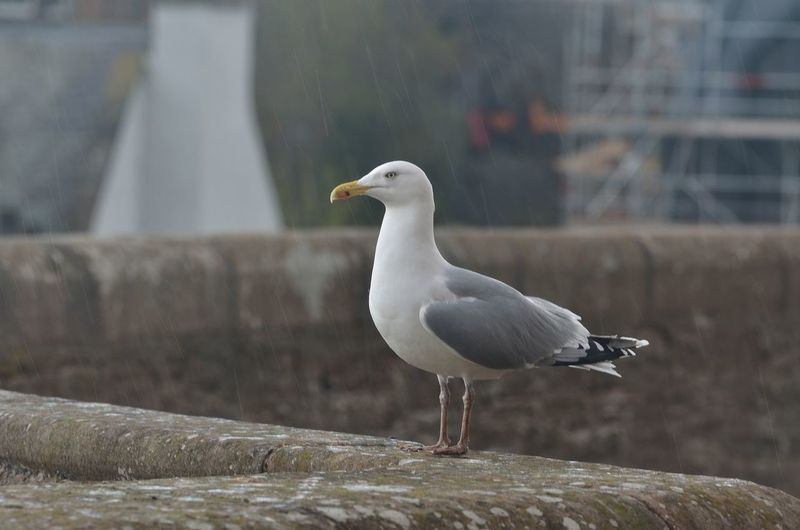 Animal Animal Themes Animal Wildlife Animals In The Wild Architecture Bird Close-up Day Focus On Foreground Nature No People One Animal Outdoors Perching Seagull Vertebrate Wall Water Wood - Material