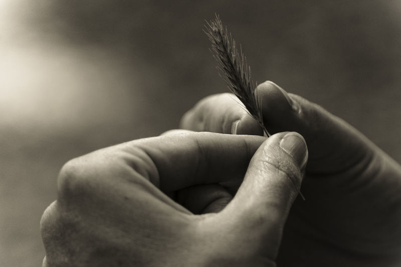Cropped image of hands holding wheat