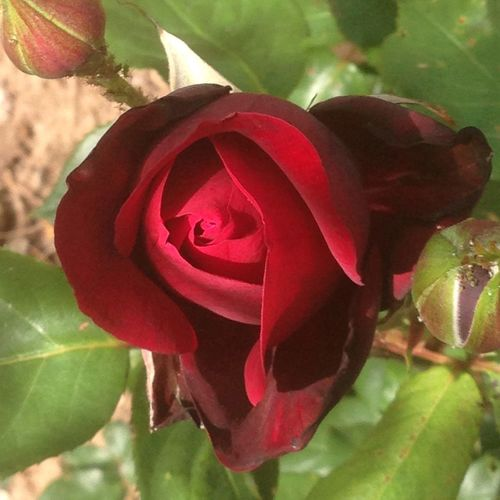 Rosé Rose🌹 Flower