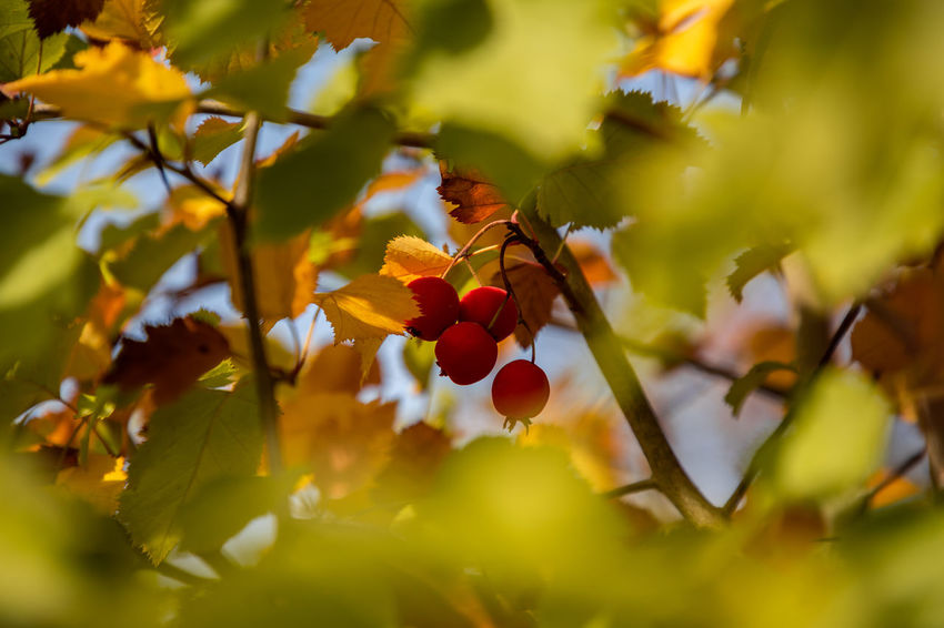 Autumn EyeEmSelect WeekOnEyeEm Beauty In Nature Food And Drink Freshness Growth Leaf No People Plant Selective Focus Tree Yellow