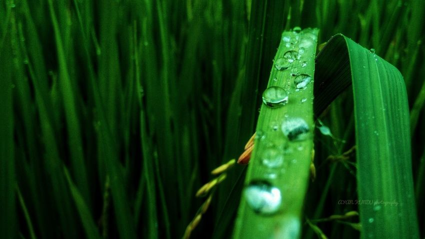 Water drops on the green leaf Green Color Nature No People Outdoors Day Growth Beauty In Nature Freshness Grass Plant Leaf Green Color One Animal Animal Wildlife Close-up Animals In The Wild Animal Themes