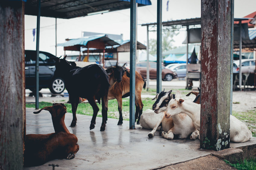Animal Animal Themes Architecture Built Structure Canine Cattle Day Domestic Domestic Animals Focus On Foreground Group Of Animals Herbivorous Livestock Mammal Medium Group Of Animals Nature No People Outdoors Pets Vertebrate