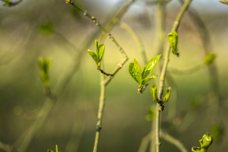 first fragile leaves in spring Green Nature Bokeh Closeup Closeupshot Fragility In Nature Leaves Opening No People Outdoors Spring Vulnerability