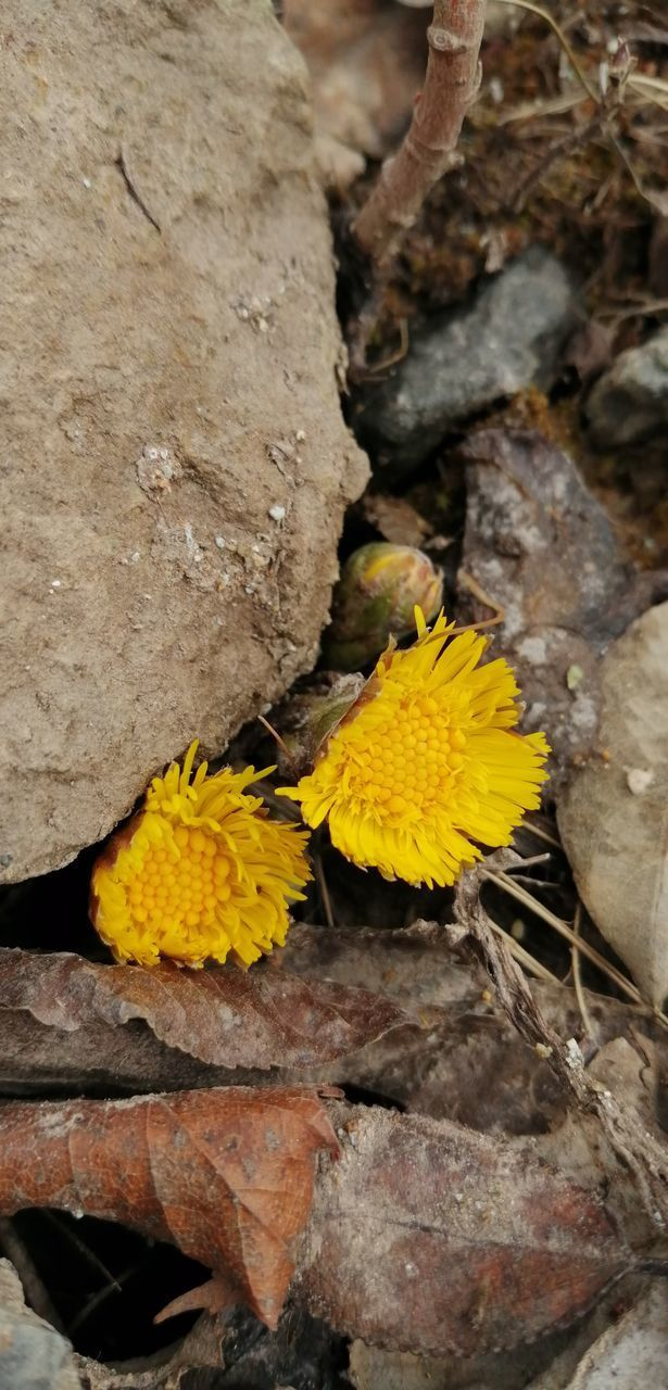 CLOSE-UP OF YELLOW FLOWER ON ROCK