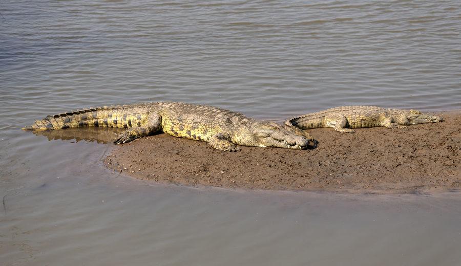 View of an crocodile on the beach