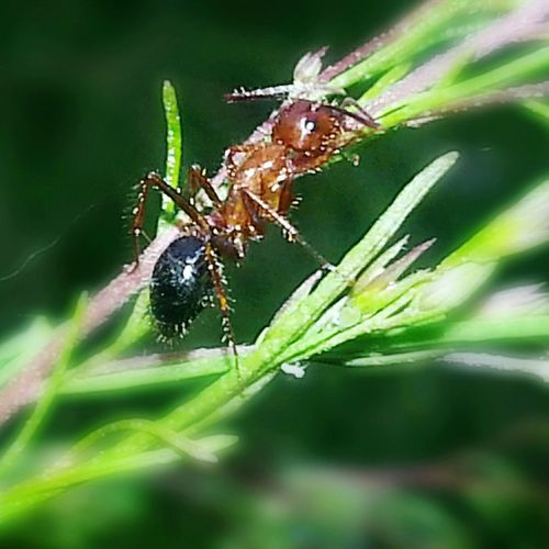 CarmenVazquezPhotography Copyright Fireant Macro Photography Macro Nature Photography Fireantlife MyPics Ants_life Ants On The Go!my