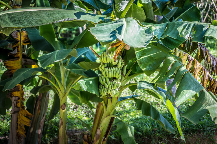 Growth Leaf Plant Plant Part Green Color Food And Drink Nature No People Food Banana Beauty In Nature Day Land Banana Tree Agriculture Field Freshness Close-up Healthy Eating Outdoors Plantation