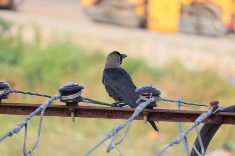 Close-up of crow birds perching on metal fence or light pole