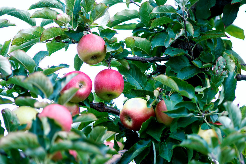 Apple Crop Autumn Mood Fruit Food Food And Drink Healthy Eating Freshness Day Wellbeing Leaf Growth Plant Part Green Color Plant No People Close-up Tree Fruit Tree Apple - Fruit Red Apple Tree Nature Ripe Outdoors