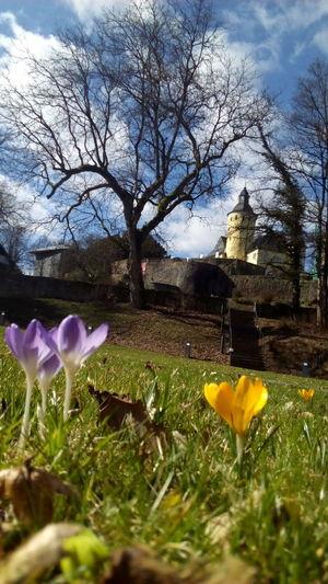Schloss Schloss Homburg Nümbrecht Beauty In Nature Krokusblüte Krokus Gelbe Blüten🌾 Lila Cloud - Sky Tree Silhouette Tranquil Scene Guerillagardening Rasen