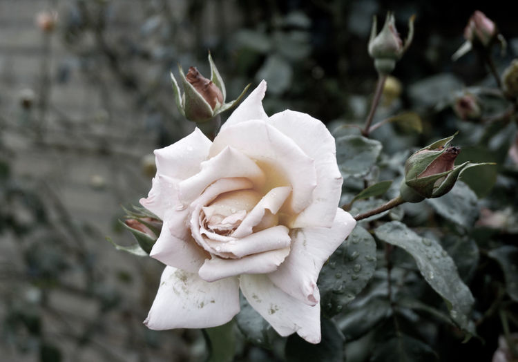 Rose in the garden Rose In The Garden Beauty In Nature Close-up Day Flower Flower Head Flowering Plant Focus On Foreground Fragility Freshness Growth Inflorescence Nature No People Outdoors Petal Plant Rosé Rose - Flower Springtime Vulnerability  White Color