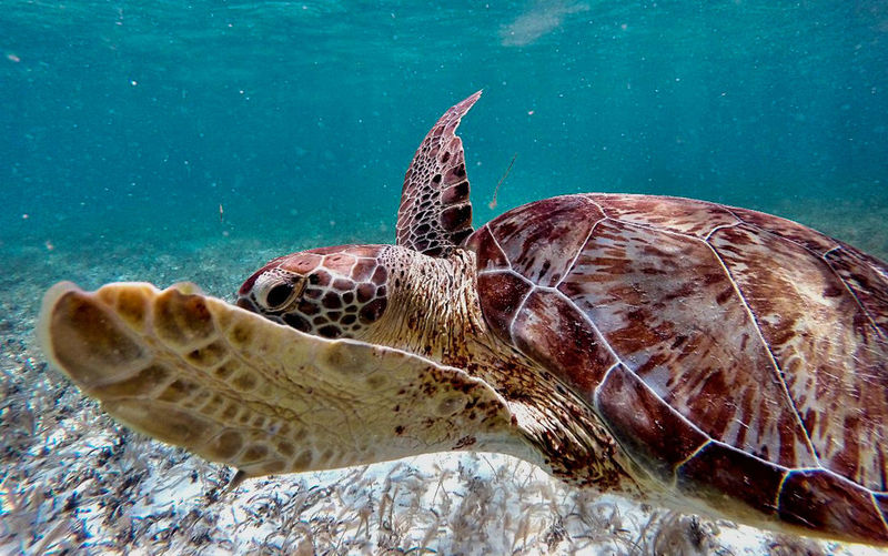 Animal Animal Markings Animal Themes Animal Wildlife Beauty In Nature Blue Close-up Day Focus On Foreground Natural Pattern Nature No People Outdoors Sea Life Turtle Water Wildlife