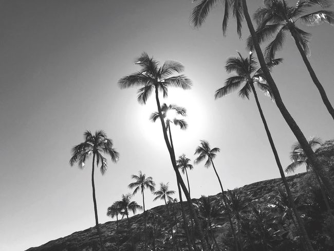 Palms Hawaii Summer Views Enjoying Life Sunny Sun Blackandwhite Photography Black & White Black And White Summer Vacation Palm Tree Tree Low Angle View Tree Trunk Palm Frond Growth Nature Sky Beauty In Nature Tranquil Scene Day Outdoors Clear Sky No People