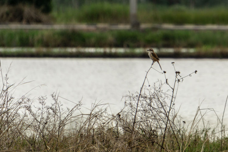 """""""Delicate perching"""" - Brown shrike perched on twig. Bird On Twig Patience Nature_ Collection  Bird Watching Birdingphotography Bird Watcher Brown Shrike Shrike Lanius Cristatus Lanius Butcher Bird Elegance In Nature Birds Of EyeEm  Bird Photography EyeEm Thailand Rice Paddy Rice Field Bird Perching Bird In Nature Delicate Beauty Fragility In Nature Passeriformes Passerine Birds Bird Water Perching Animal Themes Grass Plant"""