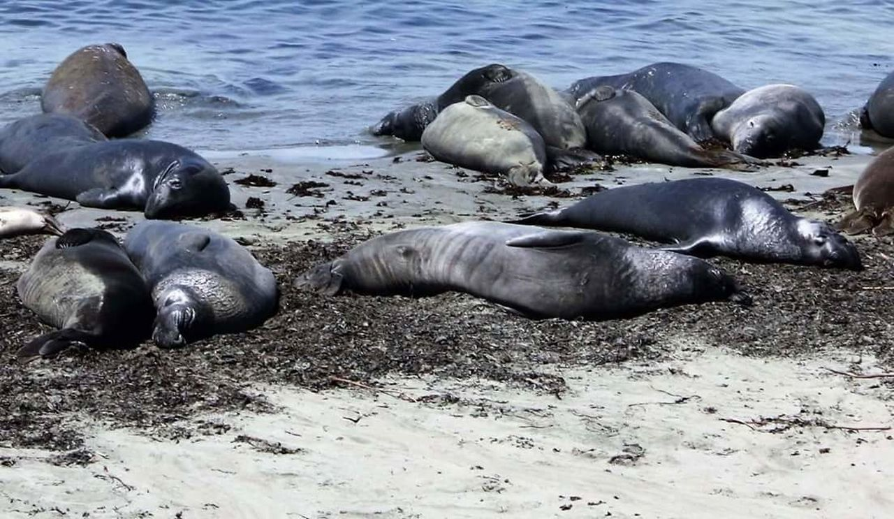 animal themes, animals in the wild, seal, aquatic mammal, animal wildlife, mammal, no people, relaxation, wildlife, nature, water, large group of animals, day, sea lion, outdoors, lying down, sea, sea life, swimming