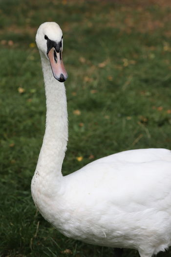 Close-up of swan on field