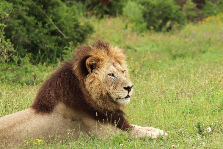 Lion relaxing in a field