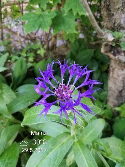 Lila Plant Day Nature Flower Head Freshness Flower