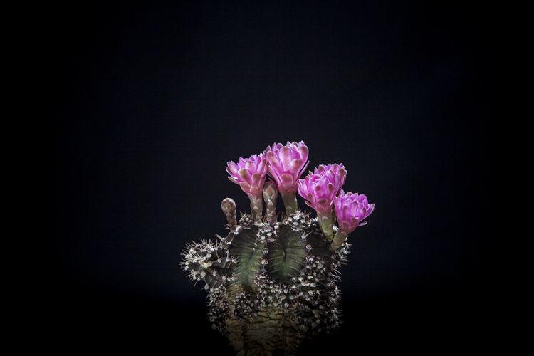 Close-up of pink flower over black background