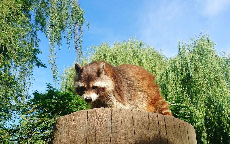 Waschbär One Animal Tree Mammal Animal Wildlife Sky Day Low Angle View Outdoors Animal Themes Animals In The Wild Red Panda Nature Raccoon No People