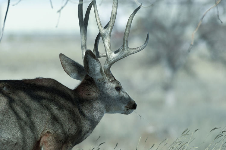 Young male mule deer on a sunny winter day near Denver, Colorado Animal Themes Animal Mammal Animal Wildlife Deer One Animal Animals In The Wild Vertebrate Antler No People Close-up Focus On Foreground Nature Day Herbivorous Animal Head  Animal Body Part Domestic Animals Outdoors