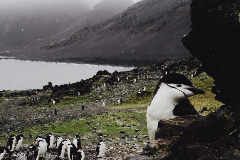 Penguins on field by lake against mountains