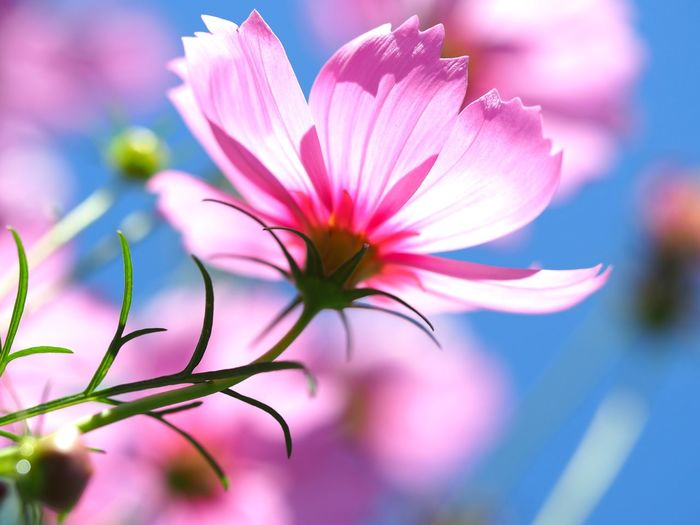 Close-up of pink cosmos flower