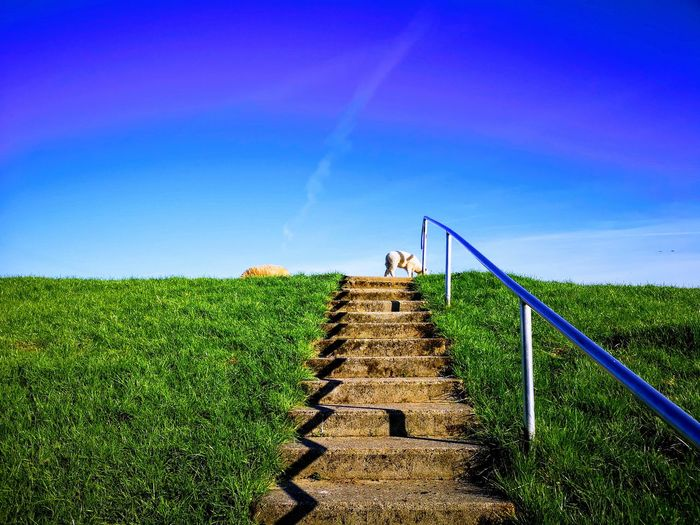 Sheep Stairs Agriculture Sky Grass Growing Steps Hand Rail