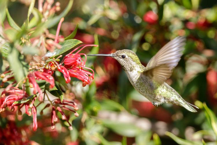 Close-up of hummingbird on red flower