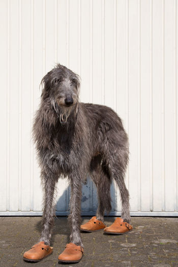 Portrait of dog standing against wall