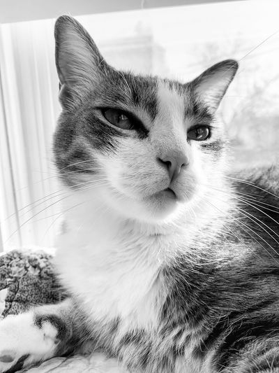 Blackandwhite Cat Feline Domestic Cat One Animal Animal Themes Animal Pets Mammal Domestic Domestic Animals Vertebrate Portrait Close-up Whisker Looking At Camera Indoors  No People Animal Body Part Animal Head  Home Interior