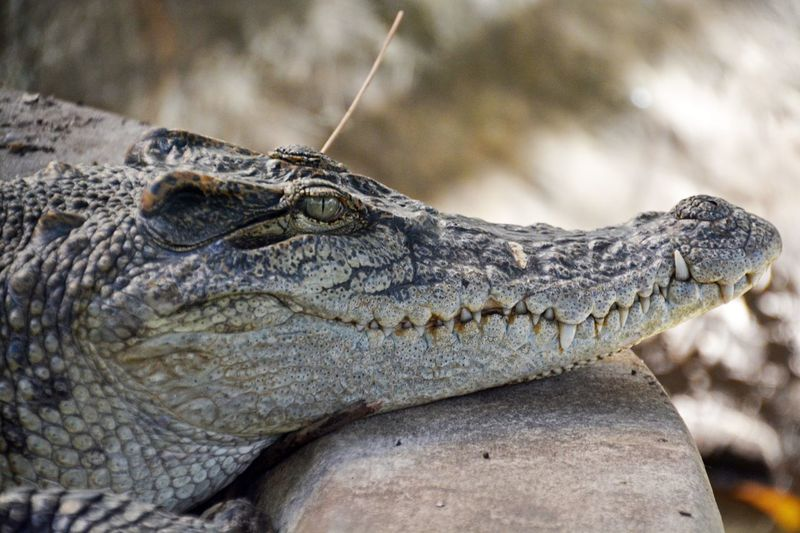 Close-up of crocodile by rock