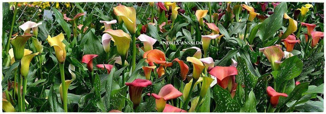 Flores Calasdecolores Fiestadelaflor Escobar Bs.As. Argentina