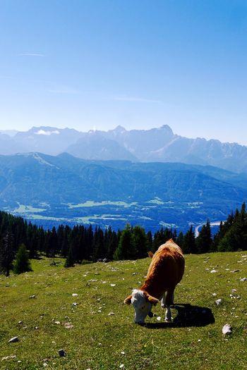 Austria Villach Cow Landscape Mountains Alps Panasonic  First Eyeem Photo