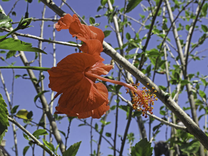 Red colored Hibiscus Flower set against the blue color of the sky. This is in the garden near to my home and I liked the way the blue color of the sky contrasted with the pink color of the flower. Beauty In Nature Close-up Environment Growth Hibiscus Hibiscus Flower Leaf Low Angle View Nature No People Outdoors Plant Sky