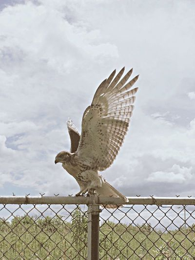 Redtailed Hawk Bird Animal Wing Day Bright Fence Flapping
