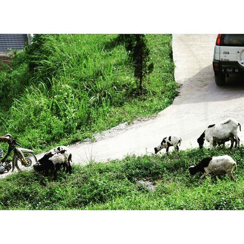 Ketika penggembala tdk ada pilihan lahan. Gembala Domba Ternak Peternakan farm farmkids sheep
