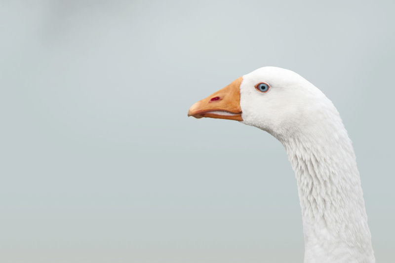 Animal Themes Animal Wildlife Animals In The Wild Beak Beauty In Nature Bird Close-up Copy Space Day Focus On Foreground Goose Greylag Goose Mourning Dove Nature No People One Animal Outdoors Swan