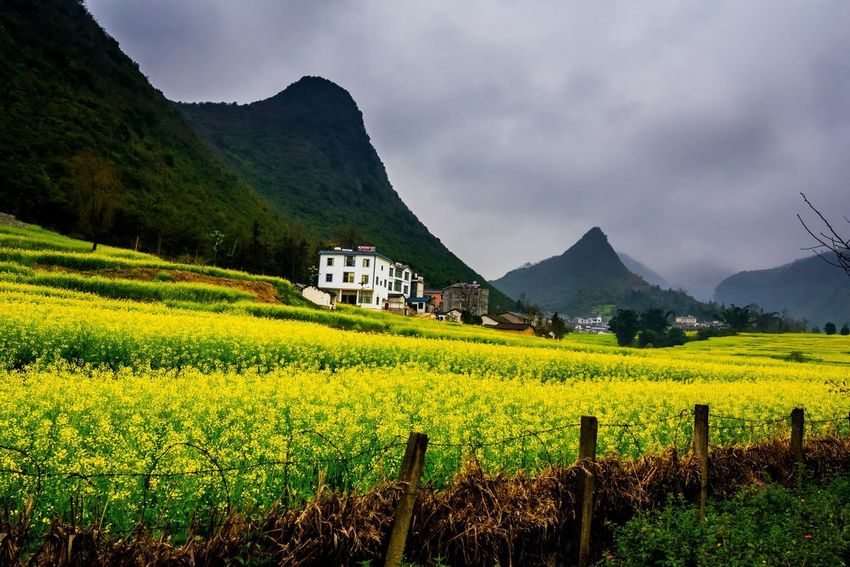 Canola field, rapeseed flower field with the mist in Luoping, China Luoping Rain Rapeseed Field Aerial View Agriculture Architecture Beauty In Nature Building Exterior Built Structure Canola Canola Field Cloud - Sky Crop  Day Farm Field Fog Growth Hill Landscape Mist Mountain Mountain Range Nature No People Outdoors Rapeseed Oil Rapeseed Yellow Tadaa Rural Scene Scenics Sky Tourism Tranquil Scene Tranquility Village