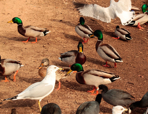 Duck Ducks Pond Kit Carson Park Wildlife & Nature Wildlife Photography Park Seagulls Here Belongs To Me