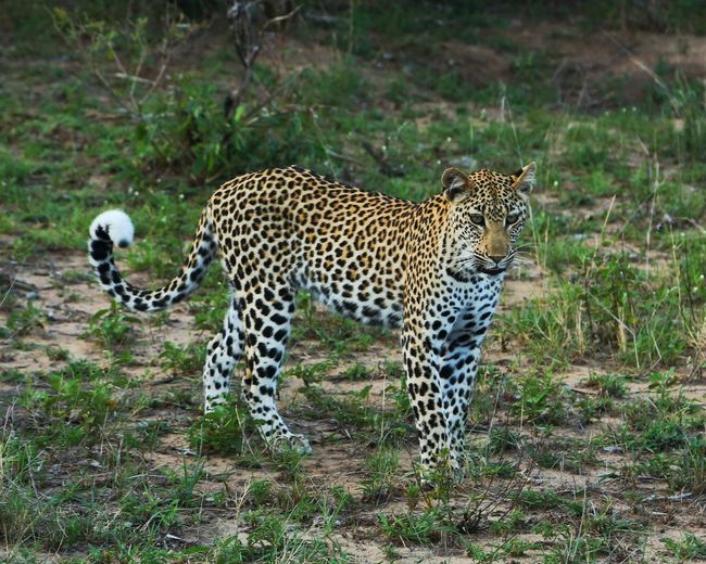 Leopard on field at kruger national park