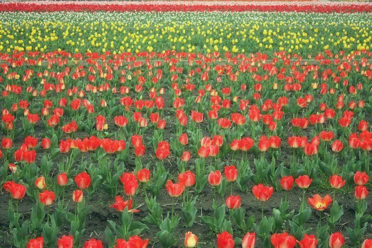 世界中のみなさーん こんにちは。ベルギーとオランダの国境付近の村からです。と言うのは嘘で、東京都 羽村市のチューリップ畑です。 Relaxing Hello World Flowers Spring Spring Time EyeEm Flower チューリップ Tulips🌷 春 Tulip Flower Collection EyeEm Nature Lover Enjoying Life Japan お花畑